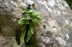 Fougère dans la roche Photo libre de droits