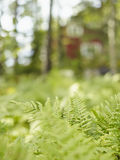 Fougère dans les bois Image libre de droits