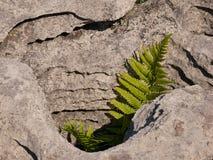 Fougère dans un trou de roche illuminé par le soleil images stock