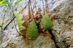 fougère de chêne-feuille, lawin de pakpak Ressort Selaginellaceae Fond d'usine Photos libres de droits