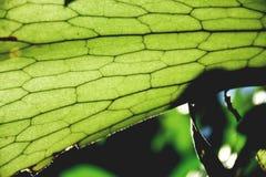 Fougère de klaxon de mâle Photos libres de droits