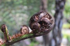 Fougère de Koru Nouvelle-Zélande Photographie stock libre de droits