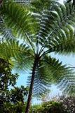 Fougère de la Nouvelle-Calédonie Photos libres de droits