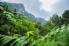 Fougère de montagne de dao de chiang Photographie stock