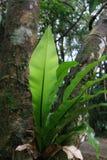 Fougère de nid d'oiseaux dans une forêt tropicale australienne Photographie stock libre de droits