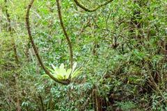 Fougère de nid d'oiseaux et x28 ; Nom scientifique : Asplenium Nidus& x29 ; élevage de v Photo stock