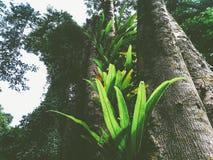 fougère de nid du ` s d'oiseau dans la forêt tropicale photo stock