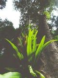 fougère de nid du ` s d'oiseau dans la forêt tropicale image stock