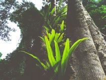 fougère de nid du ` s d'oiseau dans la forêt tropicale photographie stock