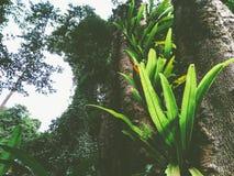 fougère de nid du ` s d'oiseau dans la forêt tropicale images stock