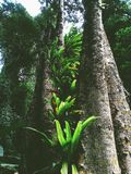 fougère de nid du ` s d'oiseau dans la forêt tropicale photographie stock libre de droits