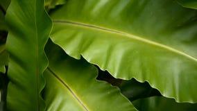 Fougère de nid du ` s d'oiseau, nidus d'Asplenium Usine sauvage de jungle de forêt tropicale de paradis en tant que fond floral n clips vidéos