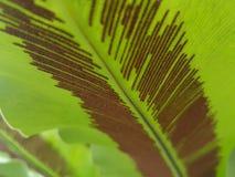 Fougère de spore Photographie stock libre de droits