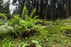 Fougère et mousse s'élevant dans la forêt photographie stock libre de droits