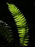 Fougère lumineuse Image stock