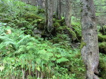 Fougère, mousse et arbres Image libre de droits