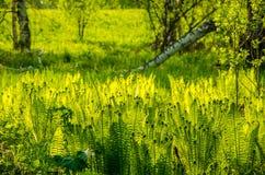 fougère s'élevant dans la forêt d'été Photo stock