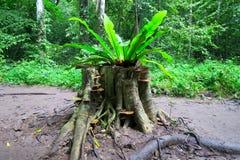 Fougère s'élevant sur un tronçon d'arbre dans la forêt Photo stock