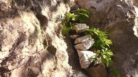 Fougère sauvage sur la roche clips vidéos