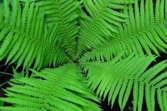 Fougère vert clair, usine dans la forêt et jardin, s'élevant Images libres de droits