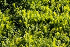 Fougère verte photo libre de droits