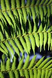 Fougère verte Photos libres de droits