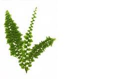 Fougère verte d'isolement sur le blanc Photo libre de droits