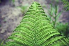 Fougère verte de feuille Photo stock