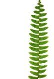 Fougère verte sur un fond blanc image stock