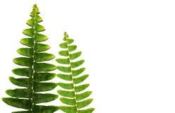 Fougère verte sur un fond blanc photo libre de droits