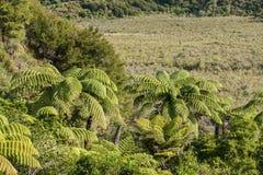 Fougères d'arbre s'élevant sur des marais Images libres de droits