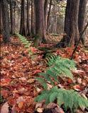 Fougères dans la forêt Photo stock