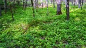 Fougères dans la forêt Photo libre de droits