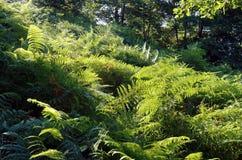 Fougères dans la forêt de la Corse Photo libre de droits