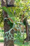 Fougères de Platycerium photo libre de droits