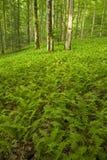 Fougères et forêt, région rose de bâtis, Pisgah N-F, OR photo stock