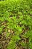 Fougères et forêt, région rose de bâtis, Pisgah N-F, OR photographie stock libre de droits