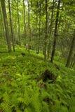 Fougères et forêt, région rose de bâtis, Pisgah N-F image stock