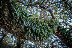 Fougères s'élevant sur la branche d'arbre Photographie stock