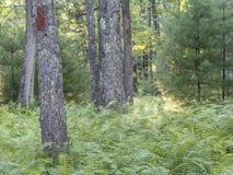 Fougères vertes dans la forêt Photographie stock