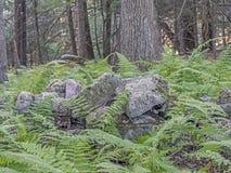 Fougères vertes dans la forêt Image libre de droits