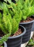 Fougères vertes dans les pots Image libre de droits