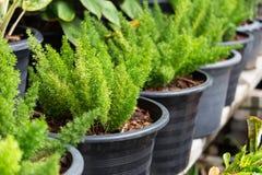 Fougères vertes dans les pots Image stock