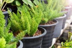 Fougères vertes dans les pots avec la lumière Photos libres de droits