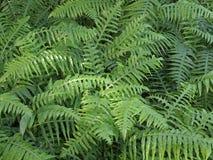 Fougères vertes fraîches Images stock