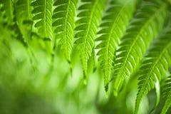 Fougères vertes fraîches Photo libre de droits