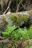 Fougères vertes fraîches parmi les arbres presque diminués Photos libres de droits
