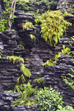 Fougères vertes sur le schiste noir avec la cascade Image libre de droits