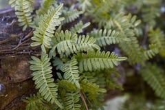 Fougère de résurrection - polypodioides de Pleopeltis Images stock