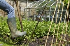 Fouilles dans le jardin avec la fourche Image libre de droits